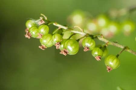 unripe: Unripe red currants on bush