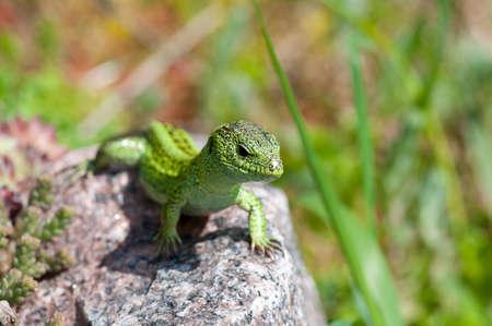 lacerta: Sand lizard (Lacerta agilis) male during mating season