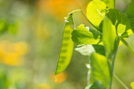 Baby-Garten Erbsenpflanze und junge pod