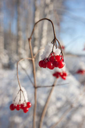 country side: Red winter berries in snowy forest, amazing winter nature of Eastern Europe