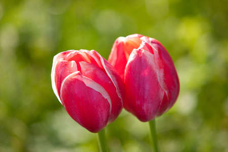Two tulips in nice spring field Stock Photo - 15480264
