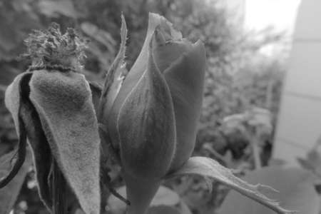 rose photo: Black and white digital rose photo