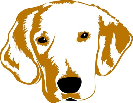 golden retriever: Golden Retriver