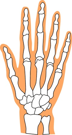 finger bones: Bones Illustration