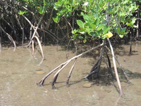 Mangroves in Kohama-island, Okinawa, Japan Stock fotó