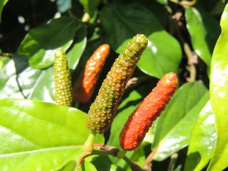 Pipatsu (Java Long pepper in Okinawa, Japan) Stock Photo