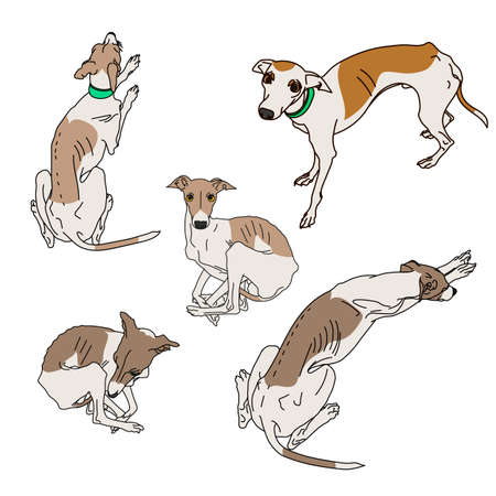 Set of skinny Italian Greyhounds. Dog collection Illustration