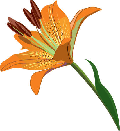 orange lily isolted on white