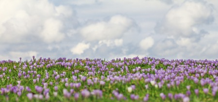 Field of wild purple crocuses with clouds in background