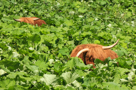 Two highland cattles relaxing and hiding in deep vegetation