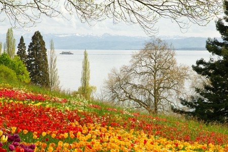Tulips field in Spring with lake and mountains in background