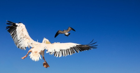 Pelican pursues a seagull. Bird animal fight in the air. Stock Photo