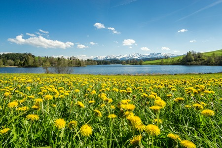 dandelion snow: Beautiful flower meadow at alpine lake and snow covered mountains.