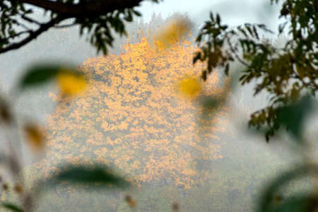 field maple: Big maple tree with orange autumn foliage on a foggy morning.