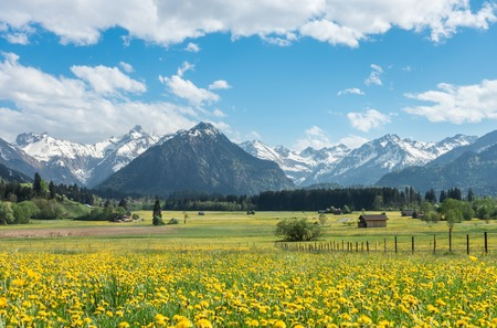 Yellow flower meadow with snow covered mountains and traditional wooden barns. Bavaria, Alps, Allgau, Germany. Imagens