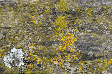 Wood Floor Panel Background covered with green moss and yellow lichens.