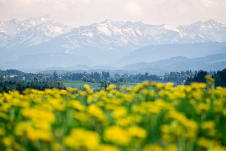 Yellow flowers meadow and beautiful view to snow covered mountains. Kempten, Bavaria, Alps, Allgau, Germany.