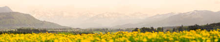 Yellow flowers meadow and beautiful view to snow covered mountains. Evening sunset light and alpenglow. Kempten, Bavaria, Alps, Allgau, Germany. Banco de Imagens