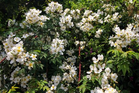 White flowers on a bush. India in summer. Selective focus. Banco de Imagens