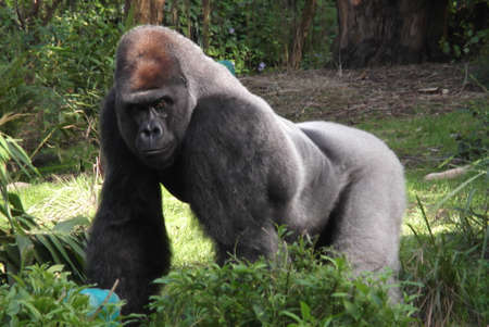 silverback: Powerful gorilla being a leader