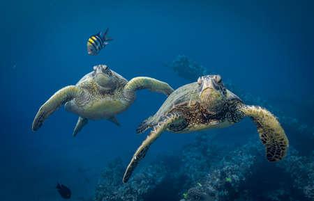 Hawaiian green sea turtles cruising over coral reef in clear blue tropical water. Фото со стока