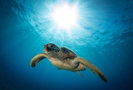 Hawaiian green sea turtles cruising over coral reef in clear blue tropical water. Archivio Fotografico