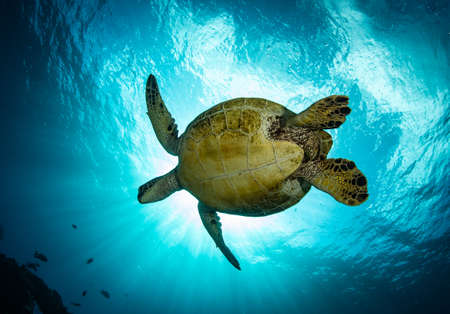 Hawaiian green sea turtles cruising over coral reef in clear blue tropical water.