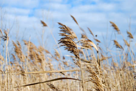 windy day: Reed on a windy day