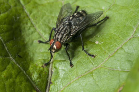 Flesh Fly Stock Photo - 15462829