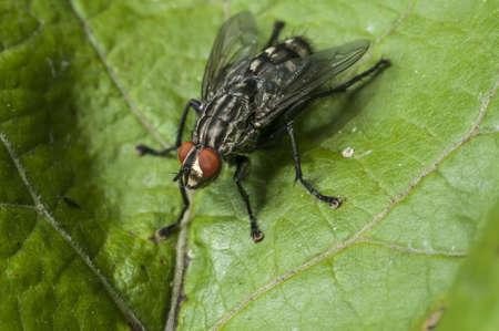 flesh: Flesh Fly