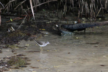 Sandpiper wading and about to flap its wings