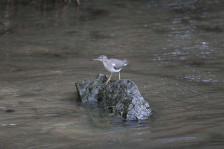 Sandpiper on the rock surrounded by muddy seawater