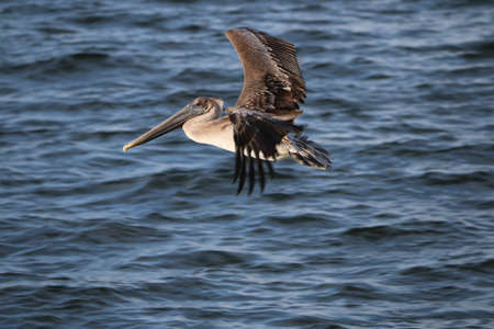 Flying pelican hunting for food Stock Photo