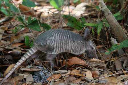 Armadillo Rooting for Food Stock Photo