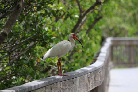 White Ibis Perched on a Boardwalk Railing Stock Photo