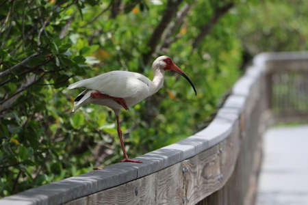 White Ibis Perched on One Leg on a Boardwalk Railing