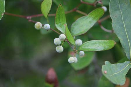 Small Berries on a Branch 版權商用圖片