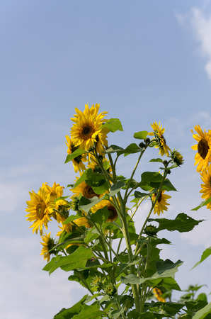 Sunflower plants in bloom in a rural flower garden with plenty of copy space