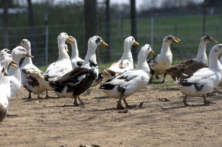domestic: A domestic flock of Ancona duck in a backyard pen  Stock Photo