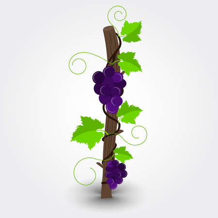 grapevine: Grapevine with purpple grapes. Plant attached to the trunk. Background with gray gradient. Isolated. Illustration