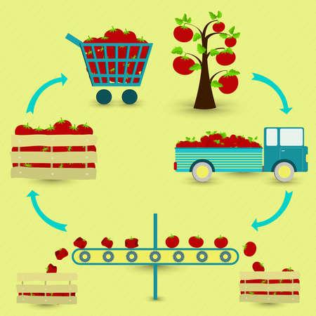 Proceso de tomate. Pasos de la producción de tomate. Árbol Tomate separación de transporte de la cosecha de tomates sanos y podridos la venta en la tienda de comestibles. En un esquema circular.