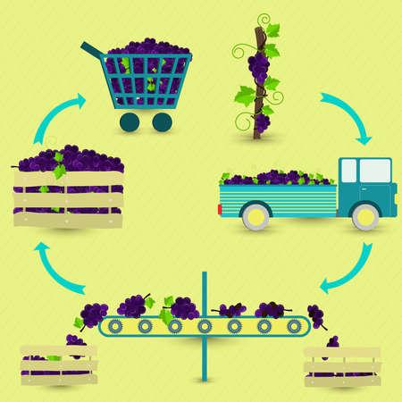 포도 생산 단계. 포도 나무, 수확, 교통, 건강하고 썩은 포도의 분리, 식료품 점에서 판매. 원형 방식에서. 일러스트