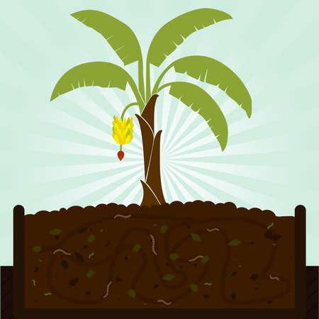 kompost: Bananenbaum und Kompost. Kompostierung mit organischem Material, Mikroorganismen und Regenw�rmer.