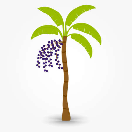 acai: Acai tree. Brazilian tree named acai tree. Palm with bunch of acai fruit.