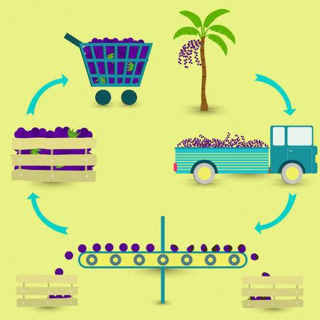 negocios comida: Proceso de la fruta de acai brasileño. Acai etapas de producción. árbol de acai, la cosecha, el transporte, la separación de la sana y acais podrida, la venta en la tienda de comestibles. En un esquema circular. Vectores