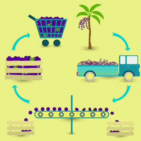 food industry: Process of brazilian acai fruit. Acai production steps. Acai tree, harvest, transport, separation of healthy and acais rotten, sale at the grocery store. In a circular scheme.