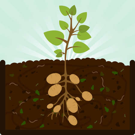 Planting potatoes. Composting process with organic matter, microorganisms and earthworms. Fallen leaves on the ground. Zdjęcie Seryjne - 55648029