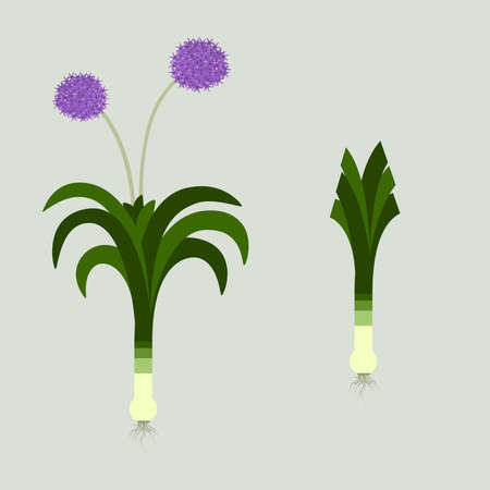 leek: Leek with leaves, roots and flowers. Blooming. In the other side, the same plant with the cut sheets.