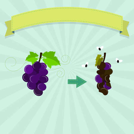 rotten: Rotten grape with flies and new grape. Blank ribbon for insert text.