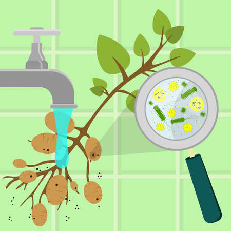 Contaminated potato tree being cleaned and washed in a kitchen. Microorganisms, virus and bacteria in the vegetable enlarged by a magnifying glass. Running tap water.